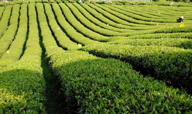 Autour du thé Bio